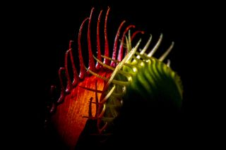 A venus flytrap in a dark background.