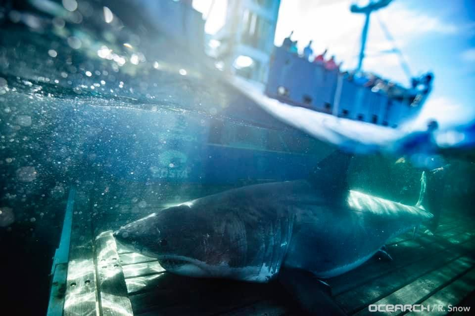 Massive great white shark Unama'ki spotted south of Miami