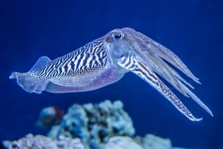 A cuttlefish (Sepia officinalis) in the water.