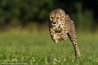 Sarah the cheetah running