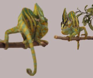 two veiled chameleons in a face-off