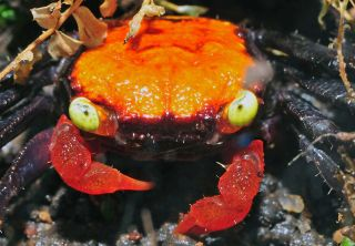 A vampire crab of the species Geosesarma hagen, which has an orange body.
