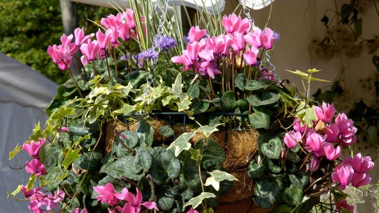 best plants for winter hanging baskets – cyclamen and ivy