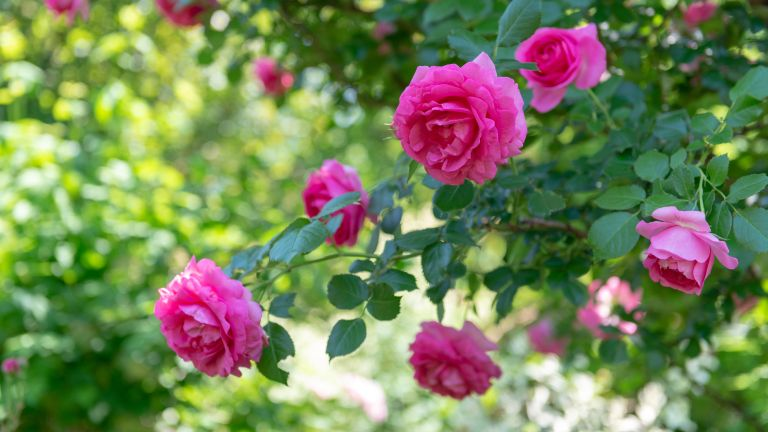 how to prune roses: pink roses