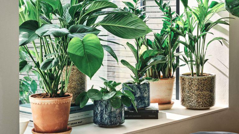 houseplants on windowsill, chinese money plant