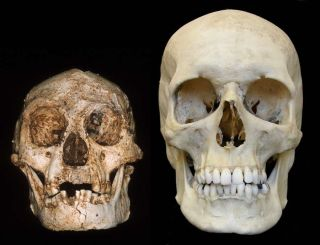 skull of a hobbit and modern human