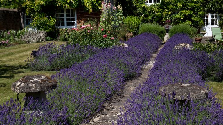 lavender lining a path in a cottage garden