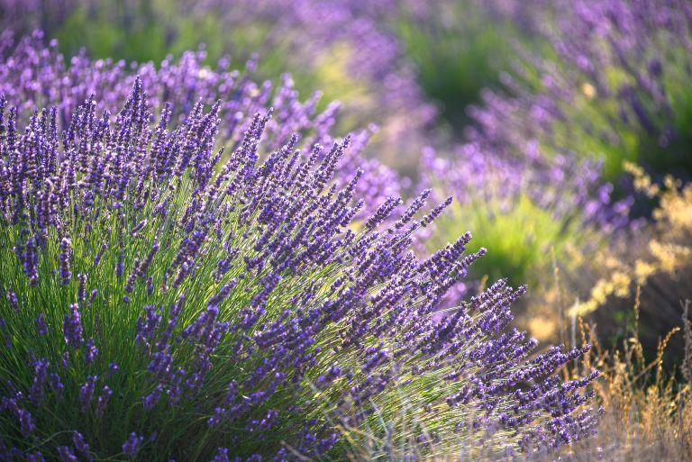 flowering lavender bush in a garden