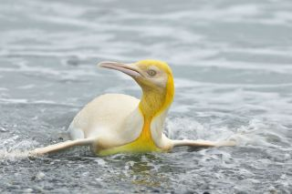 A wildlife photographer captured images of a rare yellow penguin.