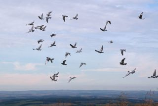 A flock of homing pigeons released and tasked with finding their way home.