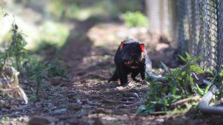 A wild Tasmanian devil exploring the 1,000 acre sanctuary where the new joeys were born.