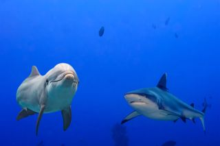 A bottlenose dolphin and a white shark.
