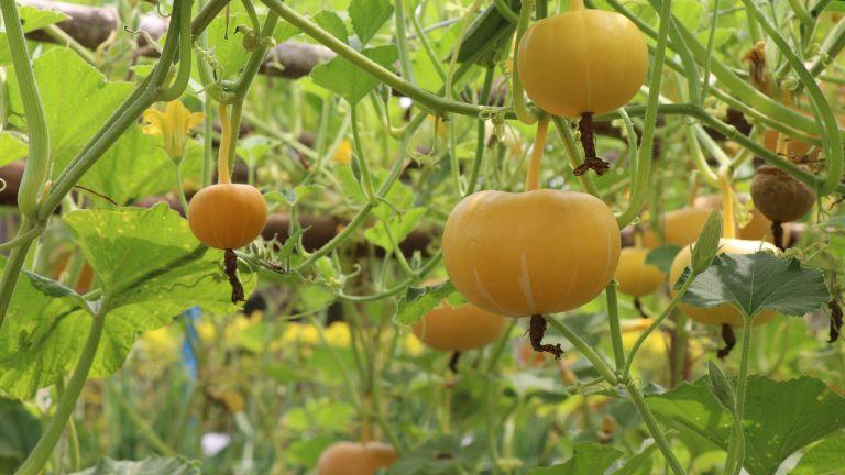 Pumpkins grown vertically on a vegetable farm