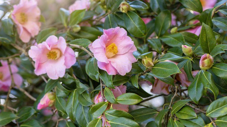 best low maintenance shrubs - spring flowering pink camellia in bloom