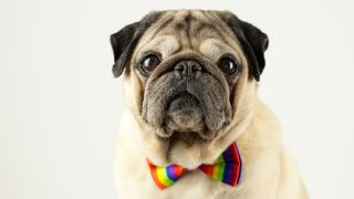 10 facts about Pugs: Portrait of Pug wearing colorful bow tie and looking at camera