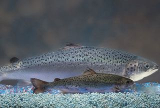 gmo-salmon