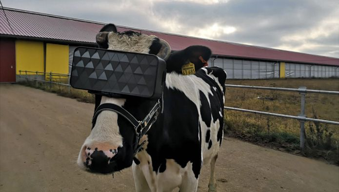 Look at these cows wearing VR headsets