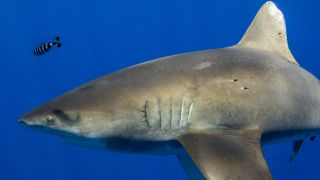 Mysterious scars on this whitetip shark suggested it had battled with the elusive giant squid off Hawaii.
