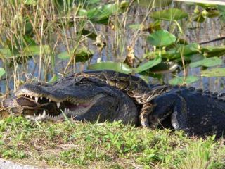 alligator and burmese python fight, florida has the most potentially invasive reptiles and amphibians in the world