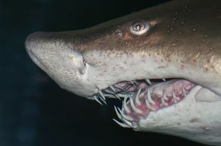 A sand tiger shark bares his scary teeth