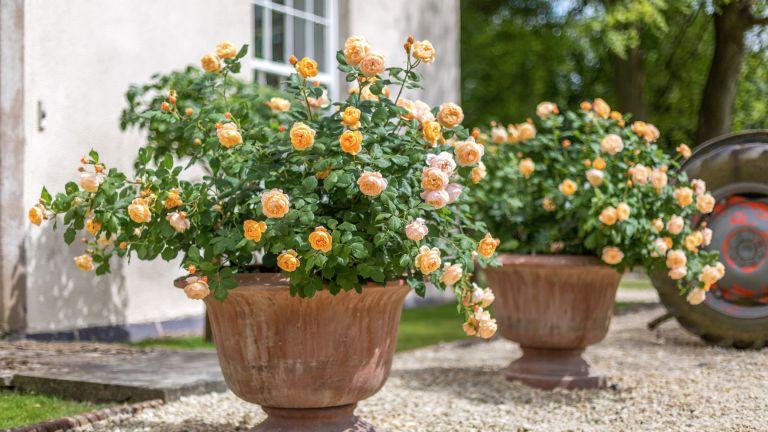 rose care tips: Roald Dahl rose from David Austin Roses