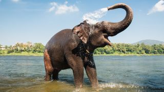 An elephant sprays itself with water in a river.