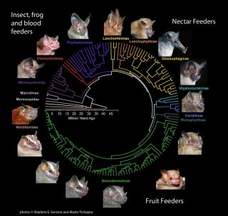 bats, bat evolution, fruit eating bats, insect eating bats, niche adaptation, new food sources, bite force, skull shape, strong jaw shape, leaf-nosed bats,