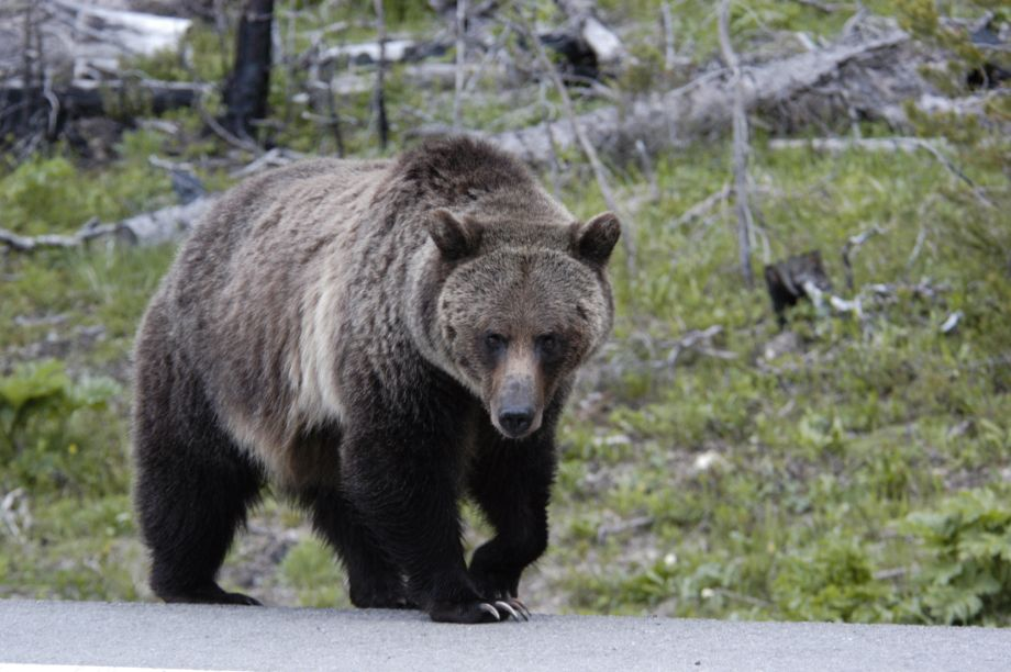 Cyclist forced to sprint for her life after being chased by grizzly bear in Canada