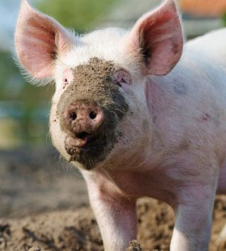 Pigs, Hogs & Boars: Facts About Swine | Live Science