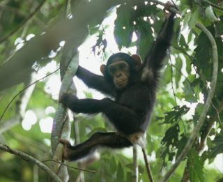 parks with chimpanzees, parks with gorillas, where chimpanzees live, where gorillas live, national parks in africa, congo national parks, goualougo triangle, Nouabal