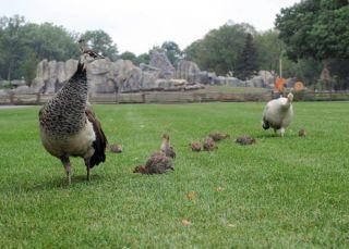 guineafowl-chicks-1-110805-02