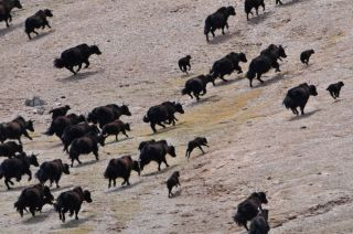 Yaks a-runnin' in a rugged northwestern area of the Tibetan Plateau.
