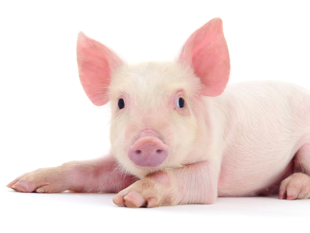 Image result for pig picture