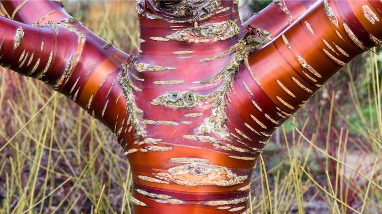 best plants with attractive winter bark and stems