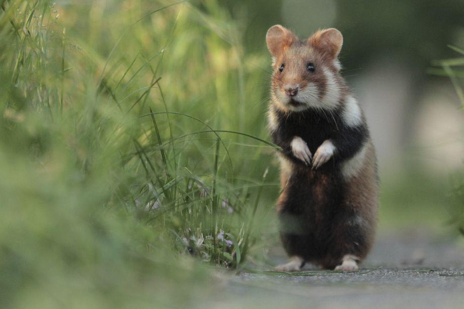 European hamster on hind legs