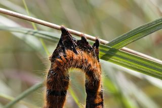 This oak eggar caterpillar, one of two found on July 6th outside of Garstang in northwest England, was likely rendered into this sorry state by a strain of baculovirus