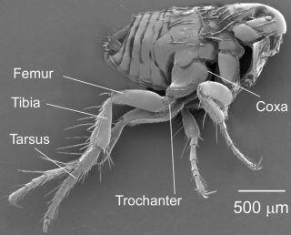 Flea leg anatomy
