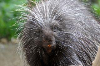 A North American porcupine