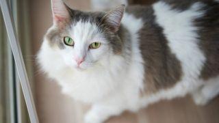 fluffy cat breeds
