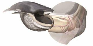 The sensory organ inside the blue whale's jaw.