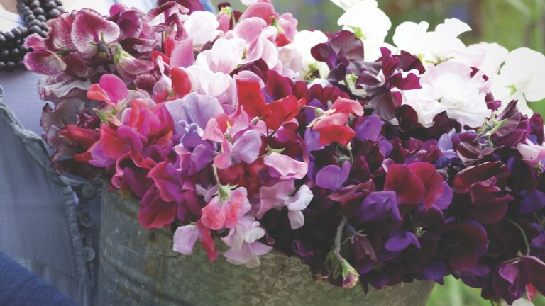 Buckets of Sweet Peas Collection by Sarah Raven