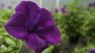 Flower of Petunia inflata, a wild species of garden petunia. Most flowering plants produce flowers with the male and female reproductive organs located in the same flower. However, many of them, including Petunia inflata, possess a reproductive trait call