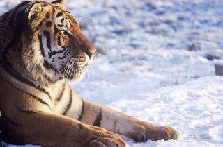 A Siberian tiger male (Panthera tigris altaica).