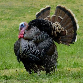 Wild turkeys are found in 49 of 50 states, an enormous turnaround after having disappeared from much of the country early in the 1900s.