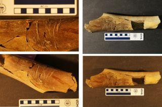 Tyrannosaur long bone