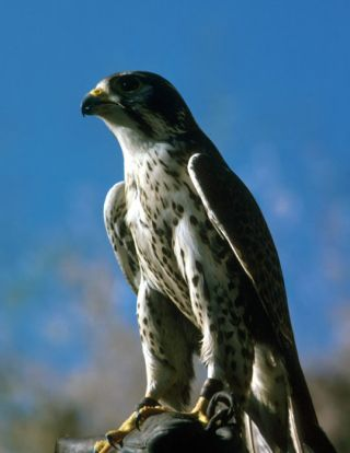 The peregrine falcon can fly up to 200 mph (322 kph), making it the world's fastest animal,