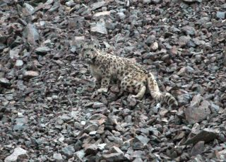 A snow leopard in Afghanistan.
