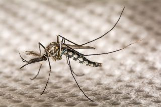 A biotech company released thousands of genetically-modified <em>Aedes aegypti</em> mosquitoes in Brazil in an effort to reduce the number of disease-carrying mosquitoes. New findings suggest the genetically-modified insects are passing some genes to the native ones.