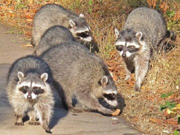 Facts About Raccoons | Live Science