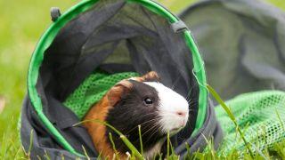 A guinea pig enjoying the best guinea pig accessories
